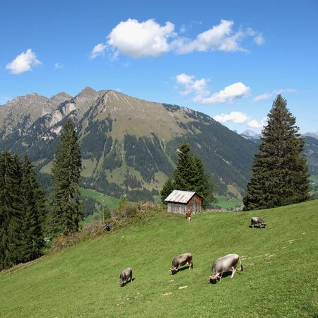 gsteig bei gstaad: Herd of grazing cows on a mountain meadow