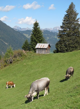 gsteig bei gstaad: Grazing cows on a meadow in the Alps