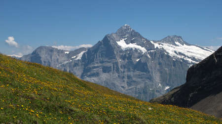 yellow wildflowers: Schreckhorn and meadow full with yellow wildflowers, summer scene in Grindelwald