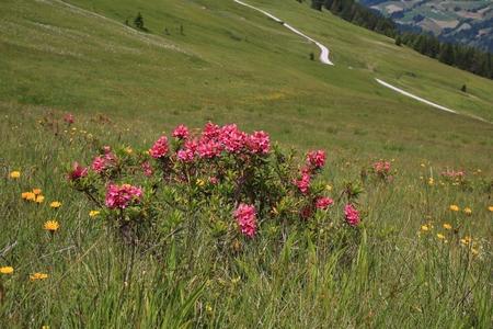 canton berne: Beautiful Alpenrosen