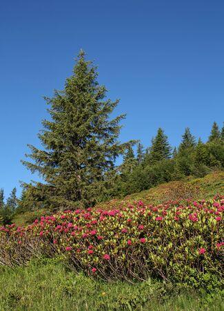 gstaad: Alpenrosen and spruce