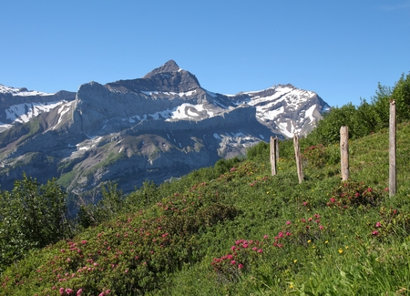 canton berne: Oldenhorn and meadow with Alpenrosen