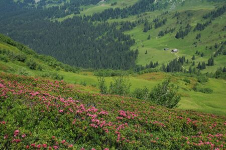 gstaad: Alpenrosen and green meadow
