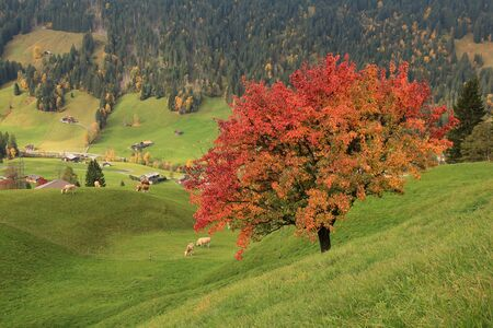 saanenland: Colorful pear tree in autumn
