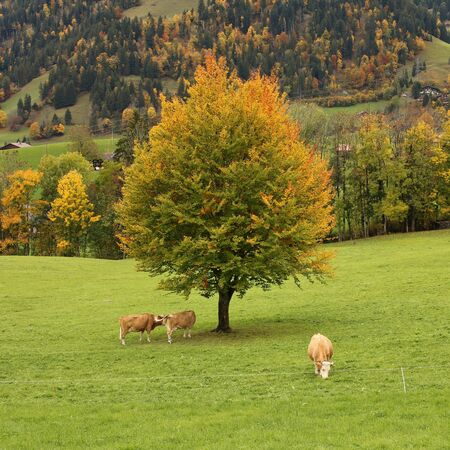 saanenland: Colorful beech tree and grazing cows Stock Photo