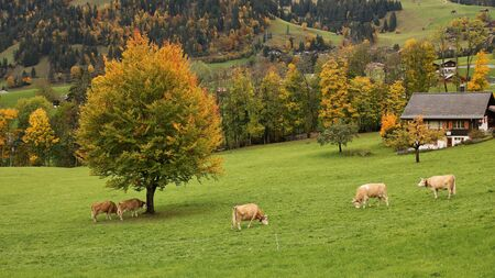 canton berne: Grazing Simmental cattle and colorful autumn landscape