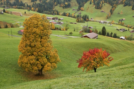 gstaad: Colorful maple and pear tree on a green meadow near Gstaad