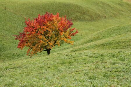 gstaad: Multi colored pear tree on a green meadow