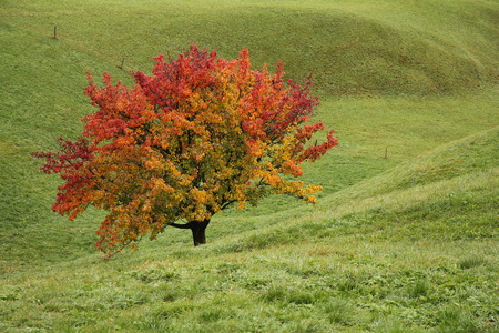 saanenland: Bright colored pear tree in autumn