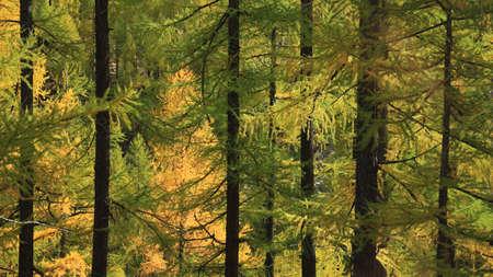 naranja arbol: Bosques de alerce de oro iluminada