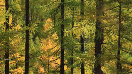 coniferous tree: Illuminated golden larch forest