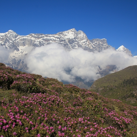 snow capped mountain: Meadow with pink wildflowers and snow capped mountain in the Himalayas