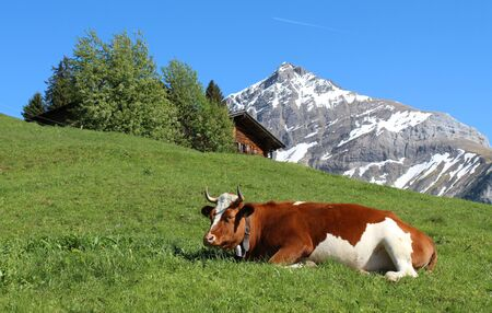 gsteig bei gstaad: Horned Swiss cow resting on a mountain meadow