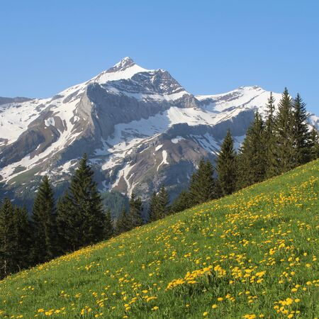 dandelion snow: Mt Oldenhorn and green meadow with dandelion Stock Photo