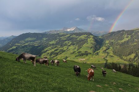 gsteig bei gstaad: Grazing cows on a alpine meadow in the Swiss Alps Stock Photo