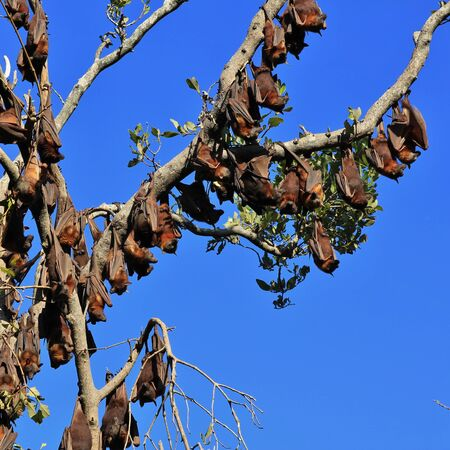 australasia: Fruit bats, also named flying foxes. Wild animals living in Australia. Stock Photo