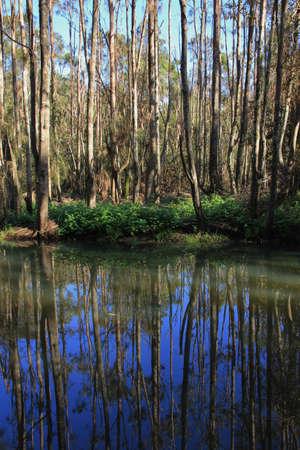 mirroring: Trees mirroring in a creek. Scene in Port Maquarie, Australia.