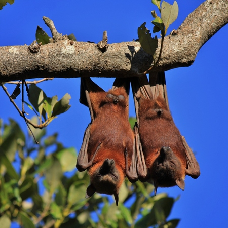 pteropus: Wild animals living in Australia. Haloween symbol. Fruit bats, also named flying foxes.