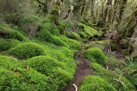 tramping: Scene on the Green Lake tramping trail. Fjordland National Park, New Zealand. Forest floor covered by green moss. Stock Photo