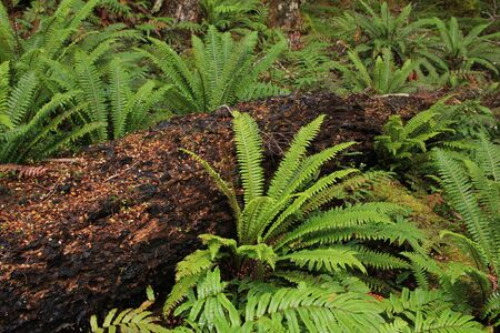 tropical native fern: Typical flora in New Zealand. Ferns and tree trunk.