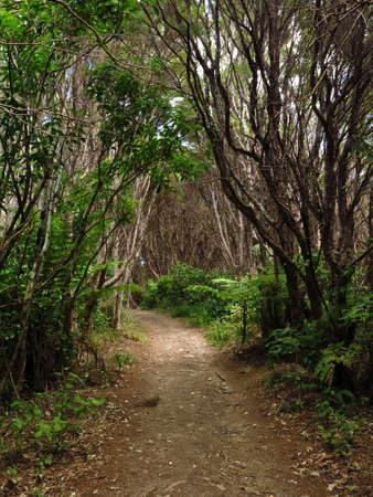 aotearoa: Footpath leading trough a forest in New Zealand. Stock Photo