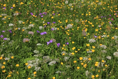 toggenburg: Springtime in the Toggenburg valley. Wildflowers growing on a mountain meadow. Stock Photo