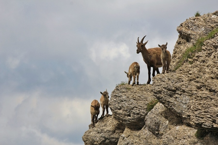 Alpine ibex family photographed on Mt Niederhorn, Switzerland. Rare wild animals living in the Alps. Stock Photo