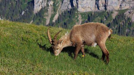 Wild animal living high up in the mountains. Male alpine ibex.