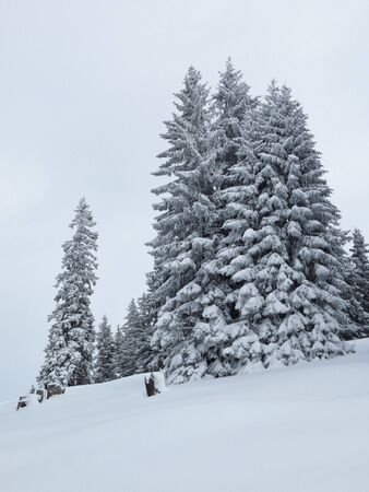 Snow covered firs. Winter scene in Gstaad. Stock Photo