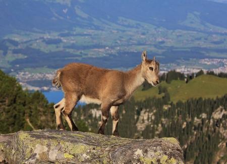 Wild animal living in the alps. Little alpine ibex baby photographed on Mt Niederhorn, Switzerland.