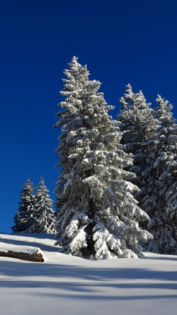 Snow covered firs in Gstaad, Swiss Alps. Idyllic winter scene. Stock Photo