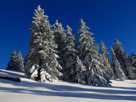 Snow covered firs in the Bernese Oberland. Idyllic winter scene.