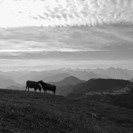 mountain ranges: Summer morning in the Swiss Alps. Two cows on top of mount Rigi and mountain ranges.
