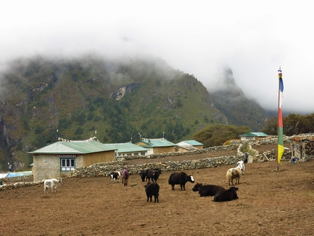 sherpa: Yak herd and houses in Phortse, Everest National Park, Nepal.