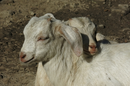baby goat: Two white baby goats snuggled up together.