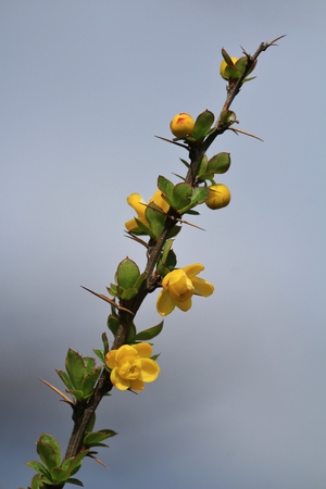 Thorny bush with little yellow flowers. Growing in Khumjung, Everest National Park, Nepal. Stock Photo