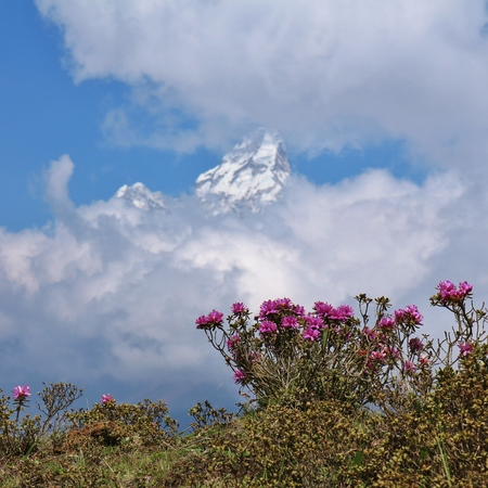 Pink wildflowers and peak of Ama Dablam. Spring scene in the Everest National Park, Nepal.
