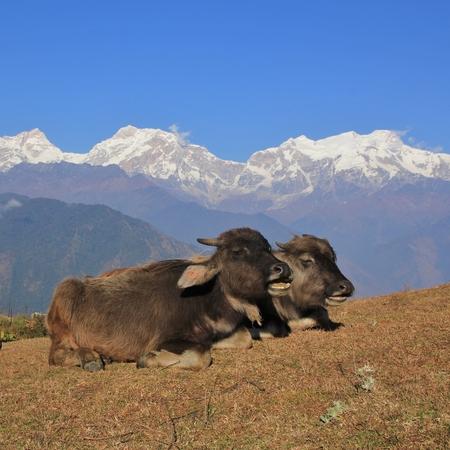 Water buffalo babies resting in Ghale Gaun, Nepal. Snow capped Manaslu range.