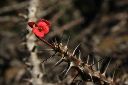 Thorny plant used as natural barbed wire on top of walls and fences in Nepal. Stock Photo