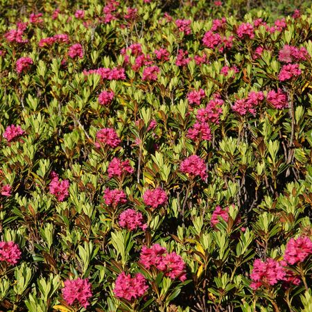 Alpenrosen, pretty little rhododendron growing in the Alps. Nature background.