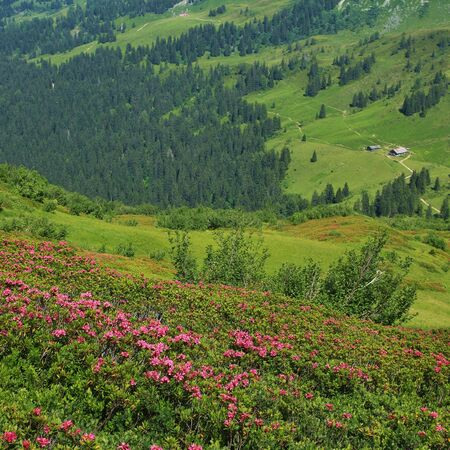 Alpenrosen green meadow and distant view of a farm. Summer scene near Gstaad. Stock Photo
