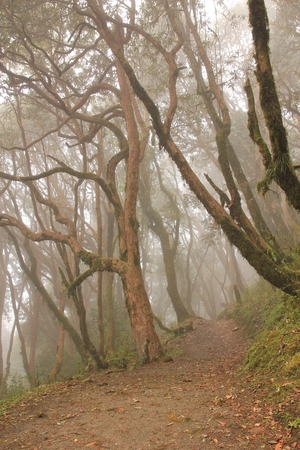 Footpath leading trough a rhododendron forest. Scene near Pokhara, Nepal. Banque d'images