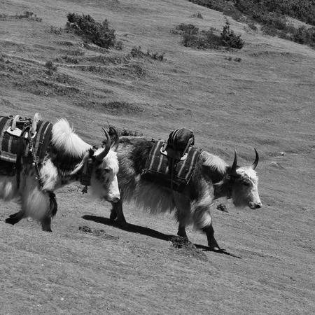 Yaks near Namche Bazar. Mount Everest National Park, Nepal.