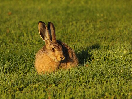 Young wild hare seen on a campground in Dalsland Sweden.