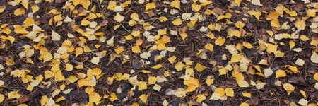Golden birch leaves on forest soil.