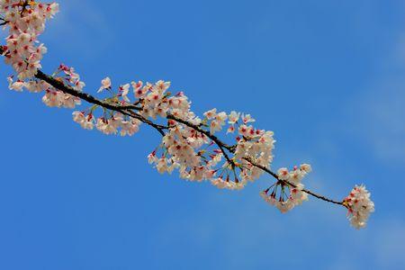 cherry blossoms blue sky