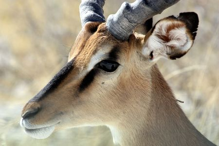 terrestrial mammals: Black faced impala in Etosha park, Namibia
