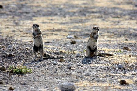 poner atencion: Dos ardillas prestan atenci�n a peligrosos, Namibia, Parque Etosha