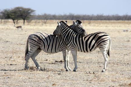 terrestrial mammals: The rest of zebras, Namibia, Etosha Park