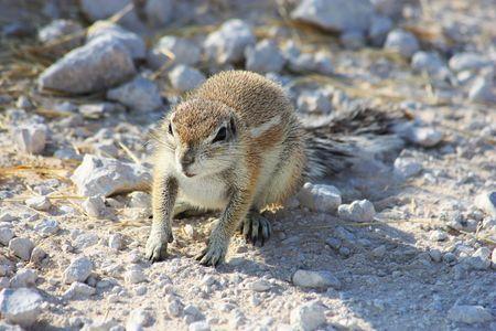 xerus inauris: Namibian wild life, Etosha park, dry season